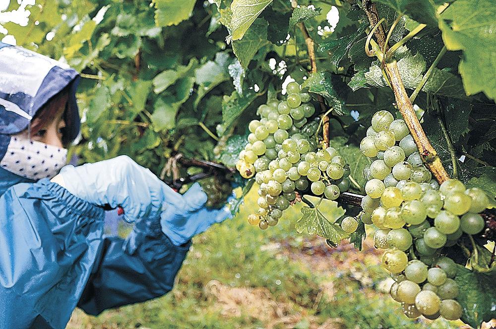 収穫が始まったワイン用のブドウ=輪島市門前町鵜山