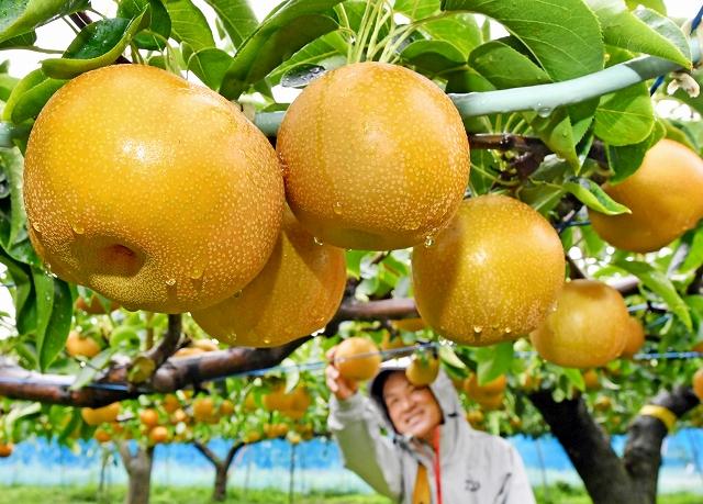 雨の中、収穫されるみずみずしい「豊水」=7日、あわら市城新田