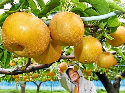 甘み文句ナシ! 坂井北部丘陵で「豊水」収穫