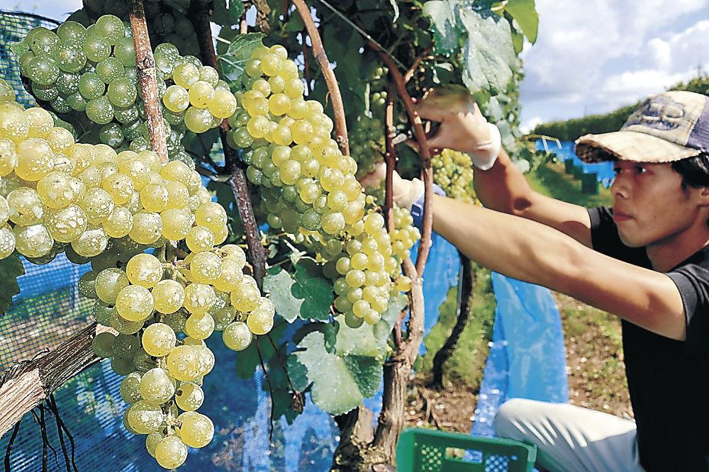 ワイン用ブドウを収穫する社員=穴水町旭ケ丘