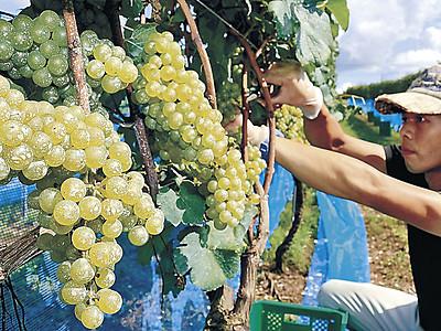 能登ワイン、実りの秋 穴水で収穫、醸造作業始まる