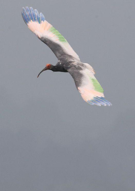 前回の放鳥でケージから飛び立つトキ。観察会ではトキとの適切な距離感などについて学ぶ=6月、佐渡市新穂正明寺