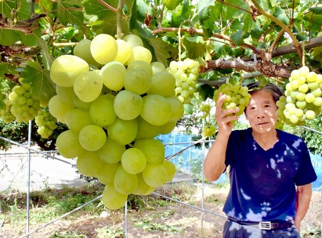 山田さんの果樹園で実ったアレキサンドリア=福井県鯖江市冬島町