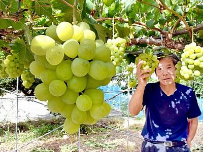 果物の女王「アレキサンドリア」人気 鯖江の農園