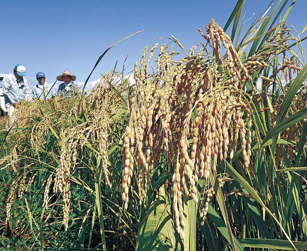 収穫を間近に控え、黄金色の稲穂を垂れるひゃくまん穀=金沢市大場町