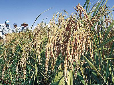 ひゃくまん穀、収穫間近 県産米新品種、19日に開始