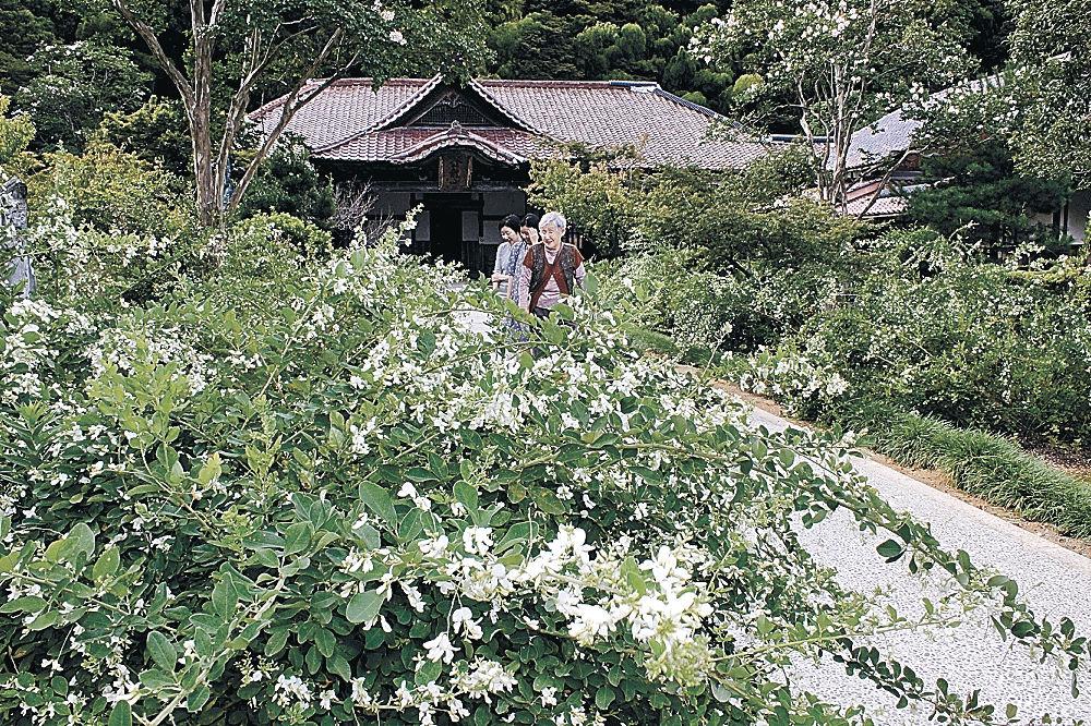 愛らしい純白の花を付けたハギ=加賀市大聖寺下屋敷町の実性院