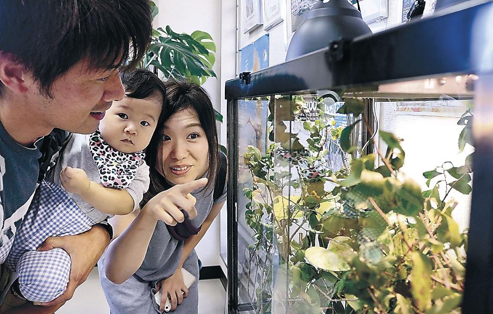 生まれたばかりのカメレオンの赤ちゃんに見入る親子=能美市のいしかわ動物園