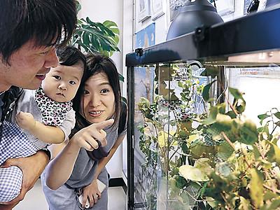 赤ちゃんカメレオン「かわいい」 いしかわ動物園、ファン感謝デー