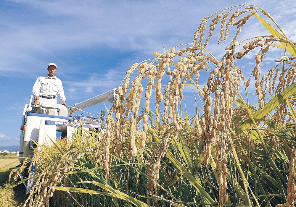 ひゃくまん穀を刈り取る農家=小松市白江町