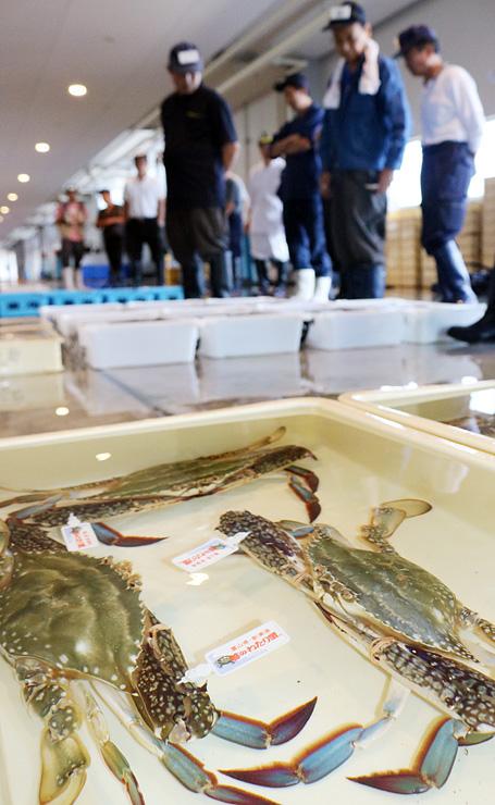 生きた状態で並ぶ「越のわたり蟹」の品質を見定める仲買人=新湊漁港