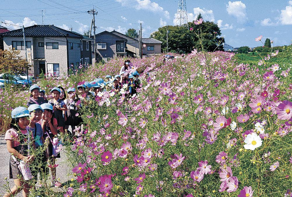 満開となった「コスモスロード」を散歩する園児=金沢市玉鉾2丁目