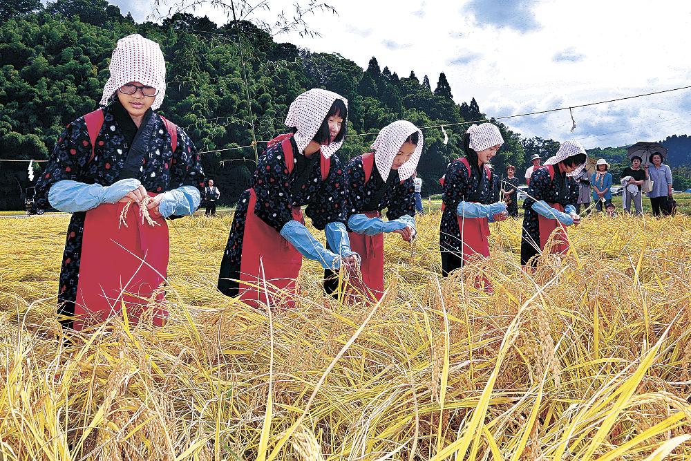 稲穂を収穫する刈乙女=金沢市末町