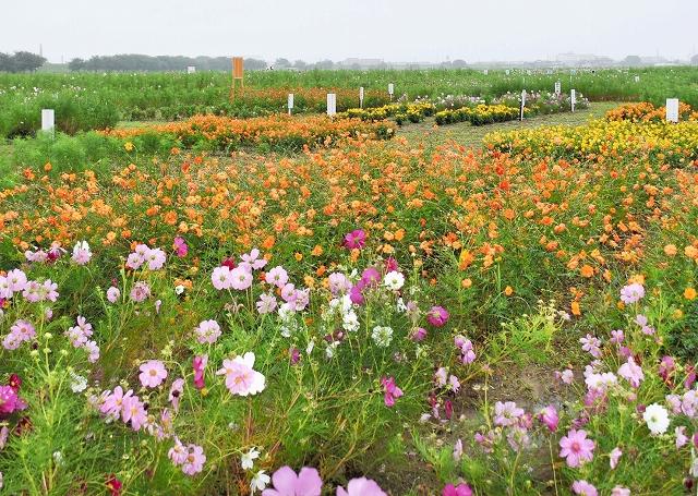色とりどりのコスモスが咲いている宮ノ下コスモス広苑=28日、福井市江上町