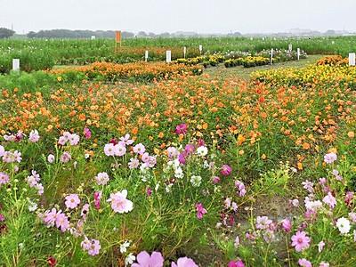 コスモス広苑、インスタ映え期待 広大な畑、色とりどり