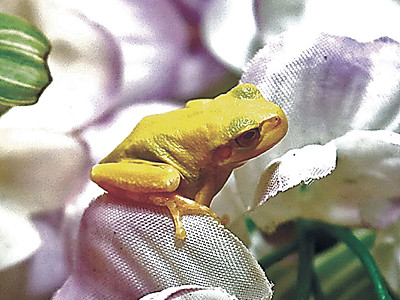 黄色のアマガエル展示 県ふれあい昆虫館、「幸運にあやかって」