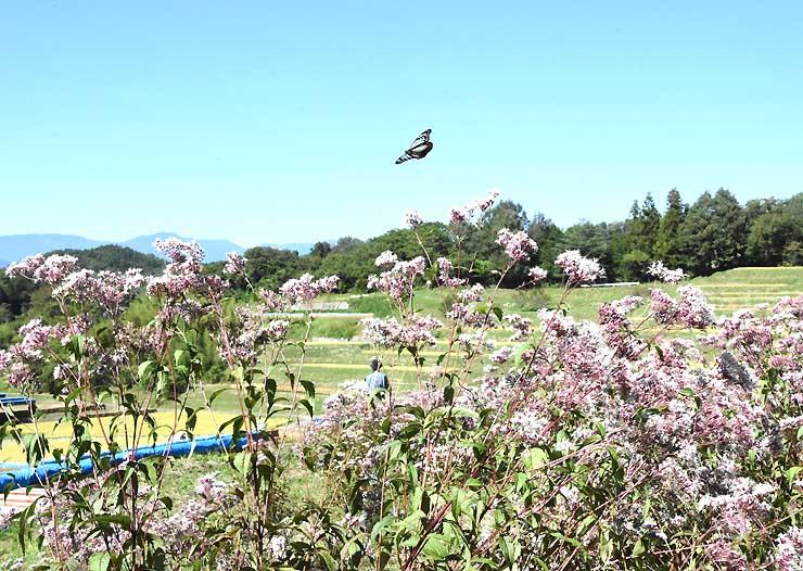 フジバカマが咲く棚田とアサギマダラとの共演。写真愛好家の格好の被写体にもなっている=飯田市のよこね田んぼ