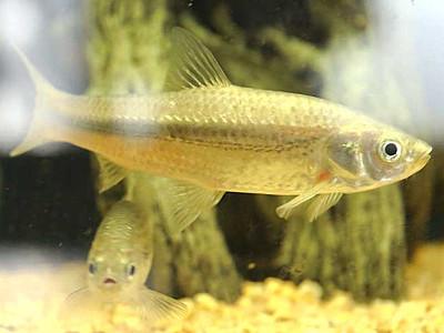 「モロコ」をコモロ名物に 高級魚の養殖挑戦