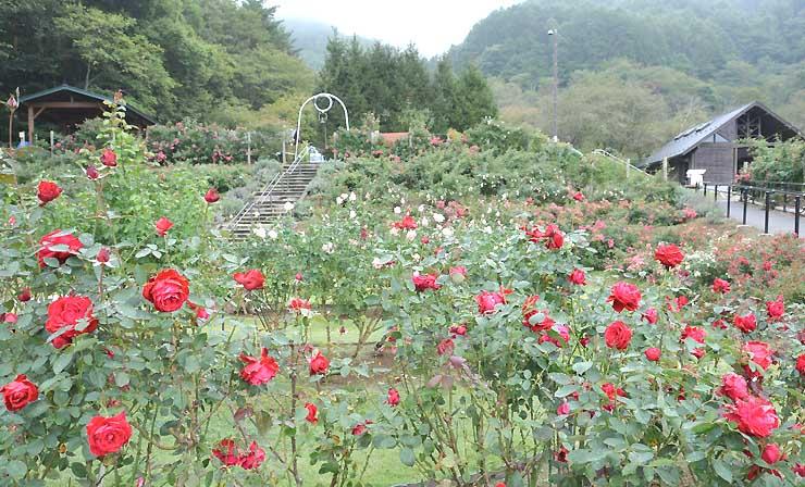 秋雨にぬれ、色鮮やかに咲くバラ=3日、伊那市高遠町の高遠しんわの丘ローズガーデン