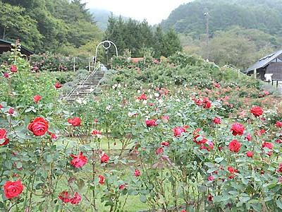 秋のバラ、色鮮やかに 高遠で7日から「祭り」