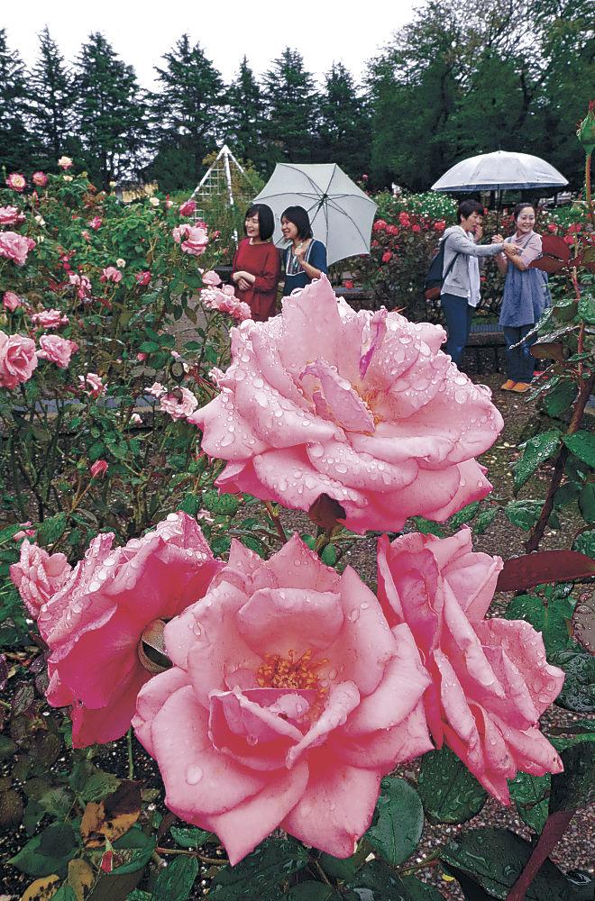 見頃を迎えたバラ=金沢市の金沢南総合運動公園