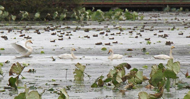 瓢湖に今季初飛来したコハクチョウ=4日、阿賀野市