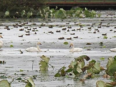 ハクチョウ 瓢湖に今季初飛来 昨年より1日早く 阿賀野