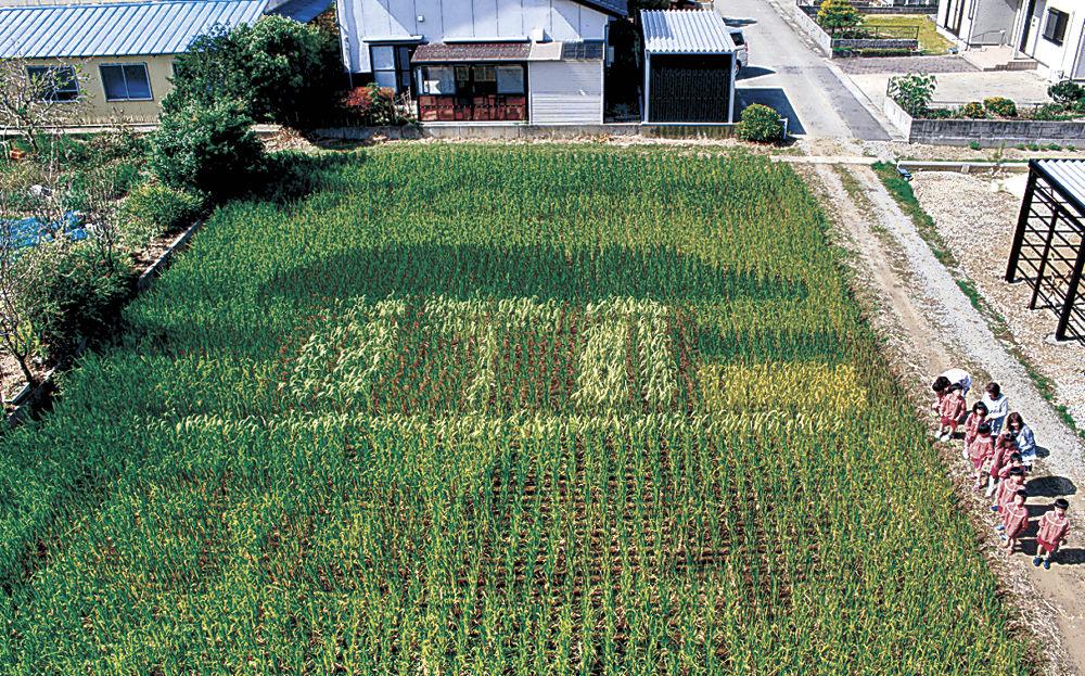田んぼに浮かび上がった古代米のアート=七尾市藤橋町