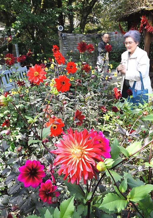 庭園で咲き誇る色とりどりのダリア