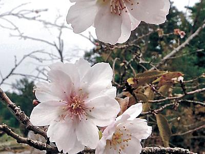 秋空にピンク映える ジュウガツザクラ金沢で開花