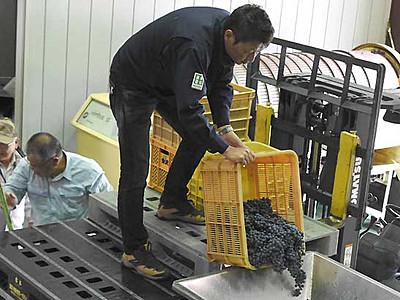 特産ワイン「紫輝」仕込み始まる 宮田の返礼品で人気上昇