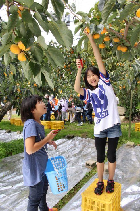柿を収穫する参加者=9日、新潟市西蒲区竹野町