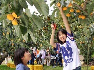 越王おけさ柿ずっしり 西蒲区で収穫体験
