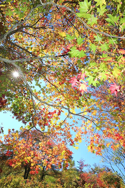 赤や黄、緑色のグラデーションが鮮やかな治部坂高原のカエデ=11日、阿智村浪合
