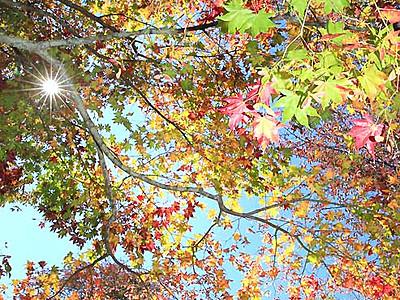 モミジやカエデ...折り重なる秋色 阿智・治部坂高原