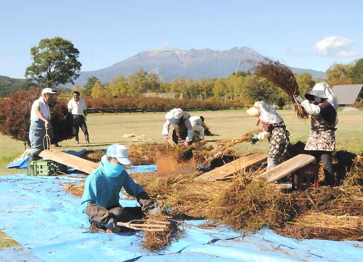 御嶽山を望む開田高原で、木の板にたたきつけるなどしてソバの実を落とす住民ら