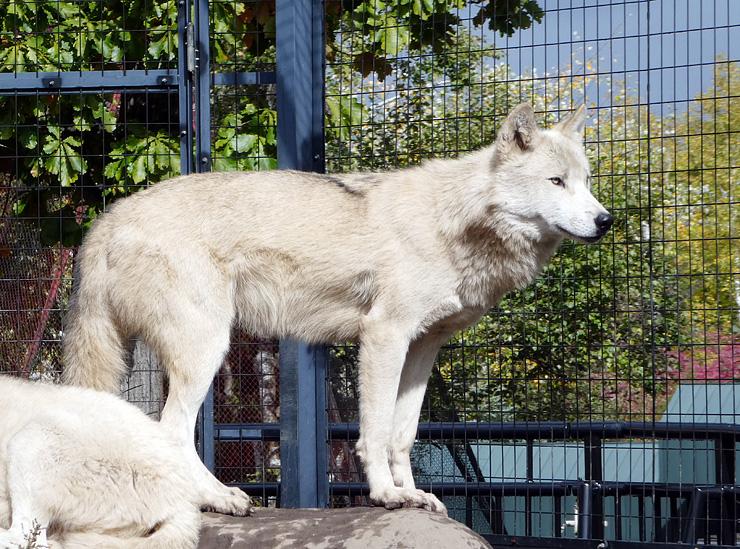 富山市ファミリーパークに搬入されたフミ(旭川市旭山動物園提供)