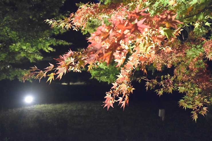 ライトに照らされるモミジの葉