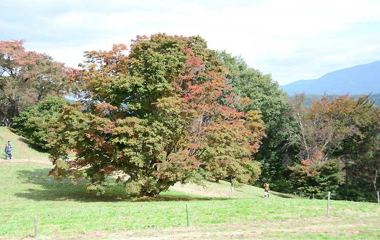 葉が赤や黄色に染まった池田町大峰高原の「七色大カエデ」