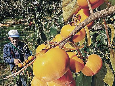 紋平柿、秋空に鮮やか かほく・瀬戸町