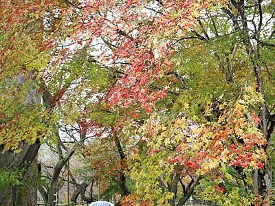 しっとり高遠の秋色 城址公園でもみじ祭り