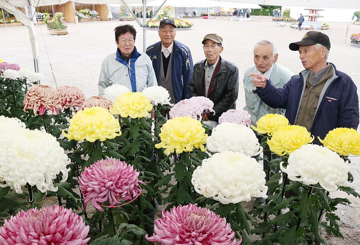愛好家が育てた大輪の花が並ぶ県菊花大会