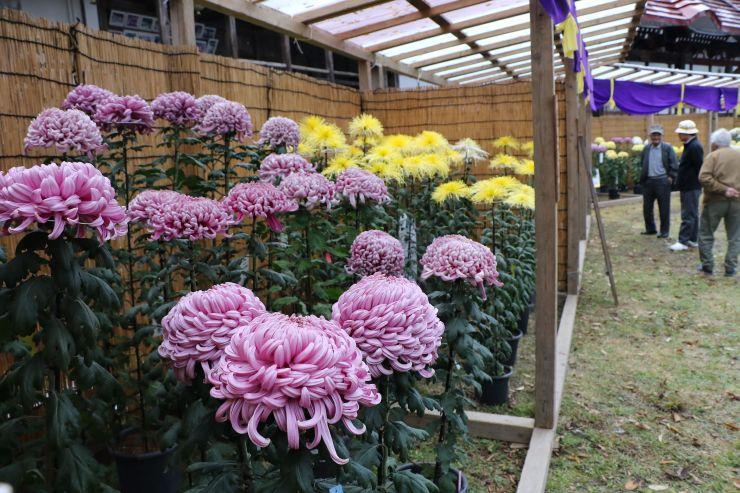 色鮮やかな菊がずらりと並んだ普光寺の境内=31日、南魚沼市浦佐