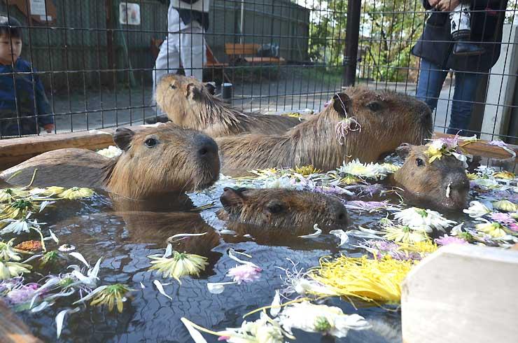 菊の花が浮かぶ浴槽で、気持ち良さそうに湯船に漬かるカピバラたち