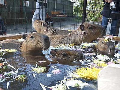 「カピバラ温泉」菊にもにっこり 須坂市動物園