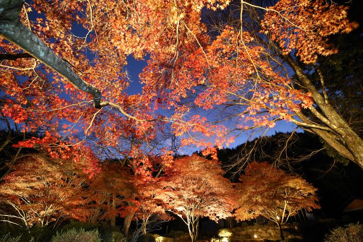 ライトアップされ、幻想的に浮かび上がった野底山森林公園の紅葉=2日午後5時半、飯田市上郷黒田