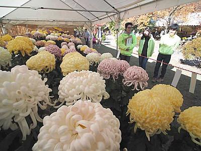 松本城本丸庭園で菊花展 鉢植えや盆栽500点