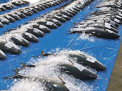 能登・宇出津港でブリ116本水揚げ 今季初100本超え、競りに活気