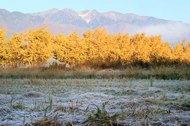 朝日を浴びて輝くイチョウ並木の黄葉。奥は中央アルプス=7日午前7時8分、中川村葛島