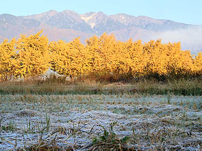 黄葉、燃ゆる立冬の朝 中ア望む中川のイチョウ並木